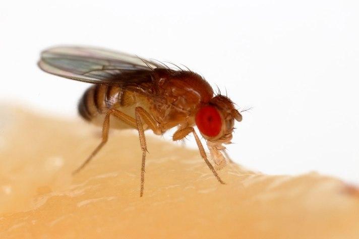 1024px-Drosophila_melanogaster_Proboscis.jpg
